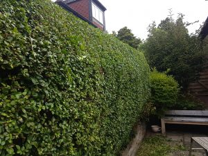 Bearsden hedge trimming